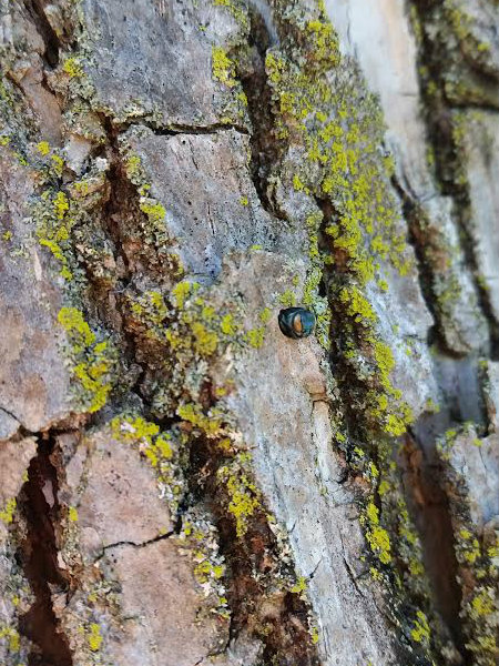 Photo of emerald ash borer insect on ash tree trunk